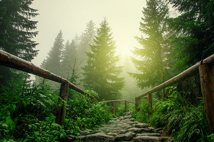 Majestic Forest With Walkway