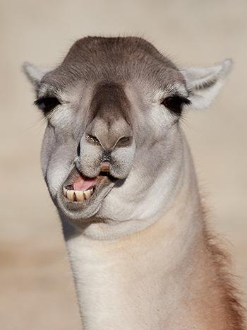 A funny looking llama
