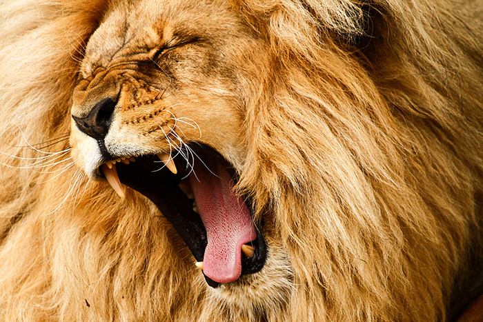 A Lion That is Yawning